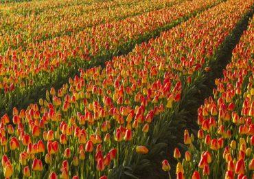 Теплица тюльпанов номер 3