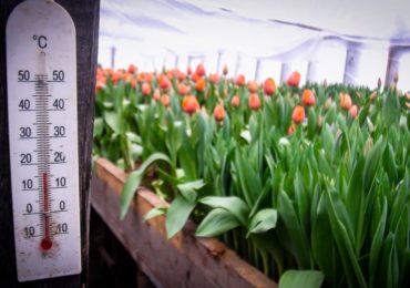 Теплица с тюльпанами