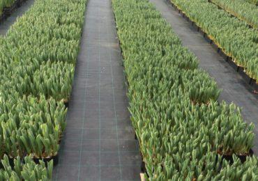 Теплица по выращиванию тюльпанов 2
