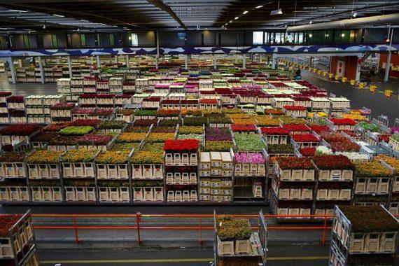 Хранение тюльпанов перед продажей